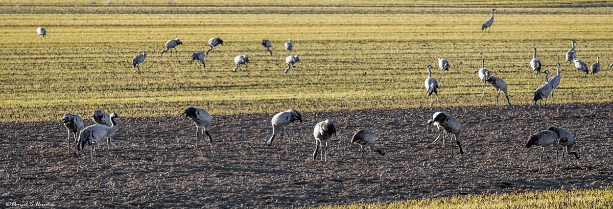 Grullas en los sembrados cercanos a la laguna (foto Daniel S. Heredia).