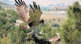 rutas-ornitologicas-Circaetus-gallicus