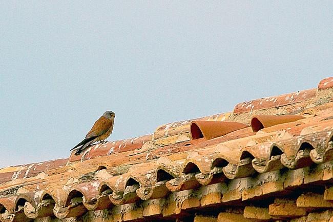 Cernícalo primilla (Falco naumanni) fotografiado en Fraga (foto: Archivo Prames).