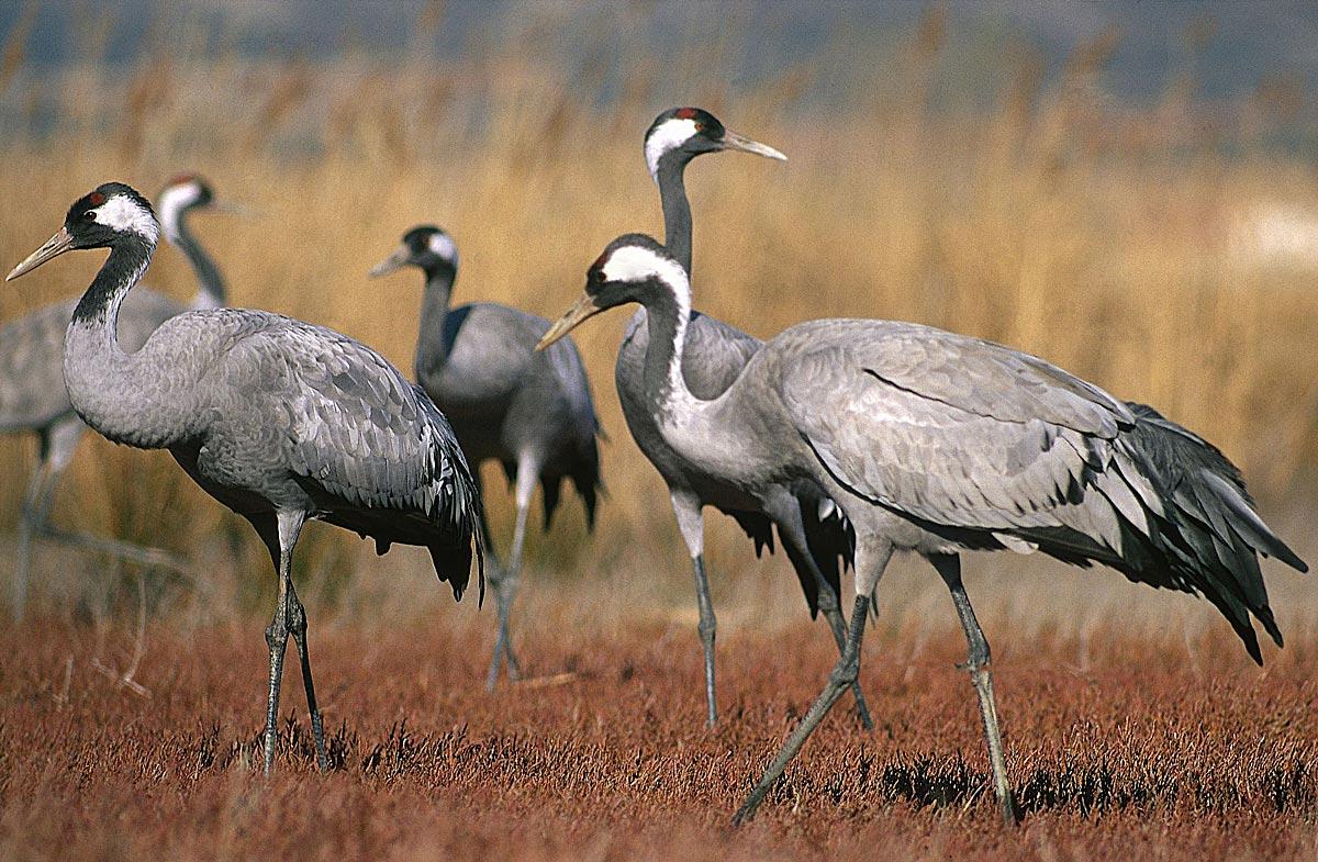 rutas-ornitologicas-grulla-
