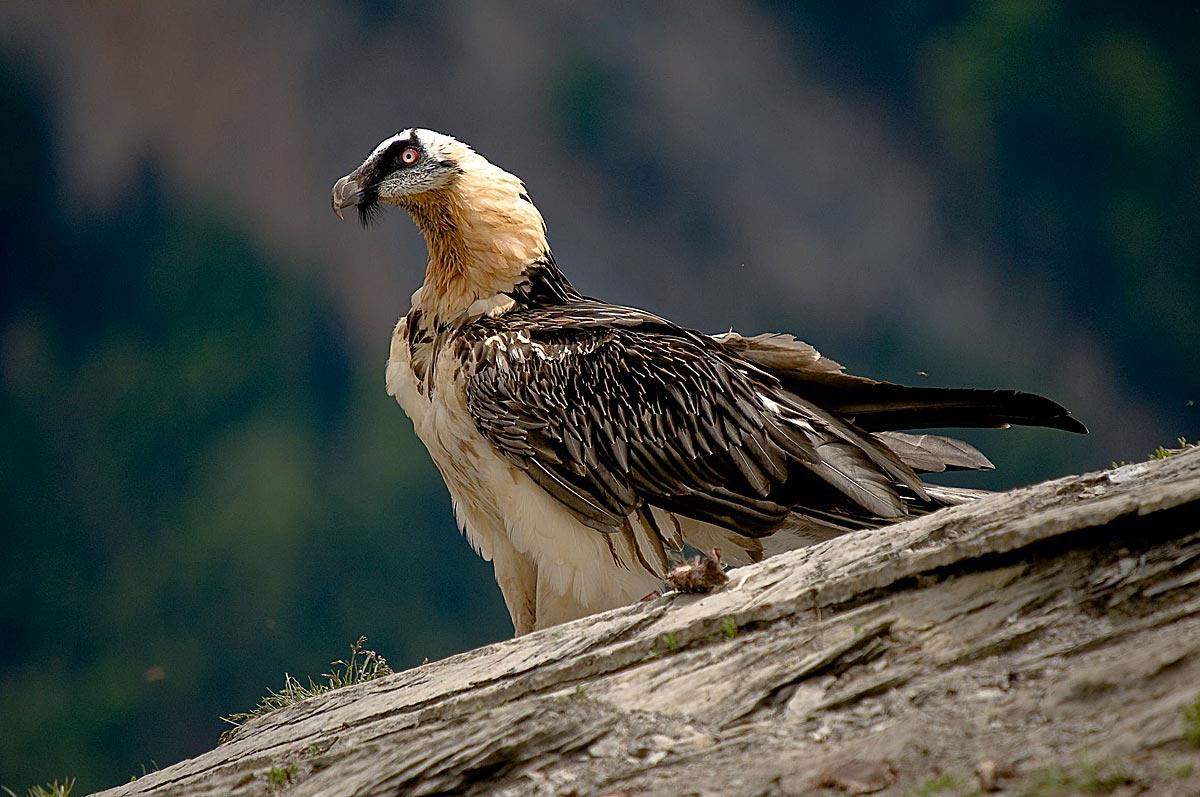 rutas-ornitologicas-quebrantahuesos