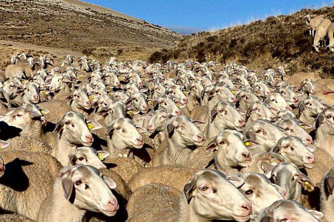 Caminando entre ovejas en el Alto Alfambra